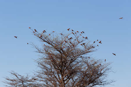 Okavango Delta: large nesting colony of Nothern Carmine Bee-eater (Merops nubicoides) on bank of the Zambezi river in Caprivi Namibia, Africa
