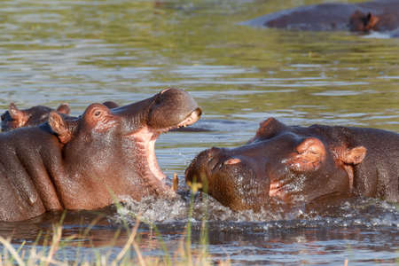 rehearse: Two young male hippopotamus Hippopotamus amphibius, rehearse fray and figting with open mouth and showing tusk. National Park Moremi, Okawango delta, Botswana