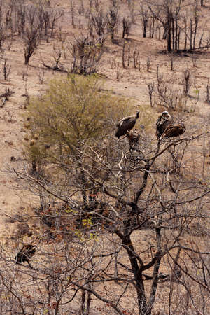 carrion: flock of White backed vulture feast on carrion in Zimbawe national park