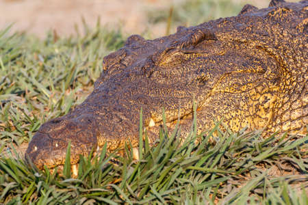 niloticus: Portrait of a Nile Crocodile Crocodylus niloticus, Chobe National Park in Botswana