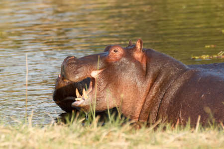 tusk: Two young male hippopotamus Hippopotamus amphibius, rehearse fray and figting with open mouth and showing tusk. National Park Moremi, Okawango delta, Botswana