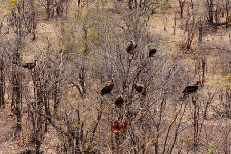 bird eating raptors: flock of White backed vulture feast on carrion in Zimbawe national park