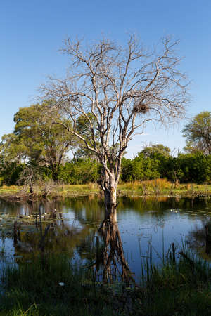 quagmire: beautiful landscape in the Okavango swamps with water lilies, Okavango Delta, Botswana Stock Photo