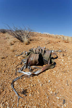 mirabilis: Splendid example of Welwitschia mirabilis is estimated to be more than 1500 years old,Erongo, Namibia, Amazing desert plant, living fossil Welwitschia Mirabilis in Namib Desert Stock Photo