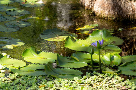 nusa: water lily in small pond, Nusa penida, Bali, Indonesia
