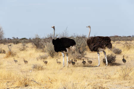 ostrich chick: Family of Ostrich with chicken, Struthio camelus, in Etosha Park, Oshana Namibia, South Africa, true wildlife photography