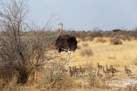 animales del desierto: Familia de avestruz con pollo, Struthio camelus, en el Parque Etosha, Namibia Oshana, África del Sur, la verdadera vida al aire libre