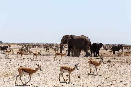 at waterhole: Charca llena de elefantes, cebras, gacelas y orix. Etosha National Park, Ombika, Kunene, Namibia. La verdadera vida al aire libre Foto de archivo