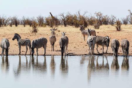 grassland: Zebra in african bush. Etosha national Park, Ombika, Kunene, Namibia. Wildlife.