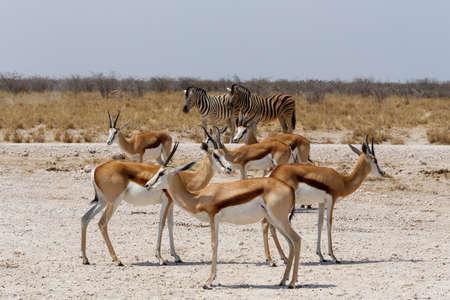 springbok: herd of springbok in Etosha national park, Namibia
