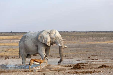 at waterhole: Blanco elefantes africanos de lodo en el pozo de agua, de Etosha National Park, Ombika, Kunene, Namibia. La verdadera vida al aire libre Foto de archivo