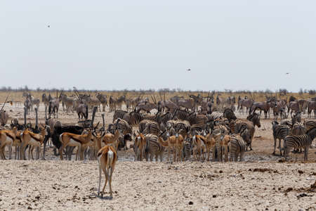 at waterhole: Charca llena de cebras, gacelas y orix. Parque Nacional de Etosha, Ombika, Kunene, Namibia. La verdadera vida al aire libre Foto de archivo