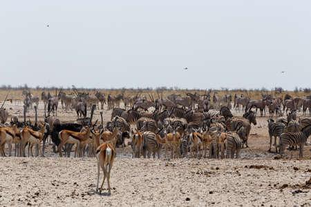 springbok: Crowded waterhole with zebras, springbok and orix. Etosha national Park, Ombika, Kunene, Namibia. True wildlife photography