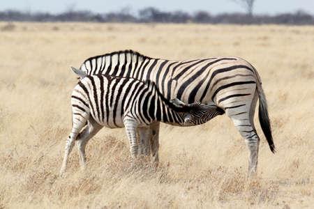 caballo bebe: Potro de la cebra de beber leche de la madre en la selva africana. Parque Nacional de Etosha, Ombika, Kunene, Namibia. La verdadera vida al aire libre Foto de archivo