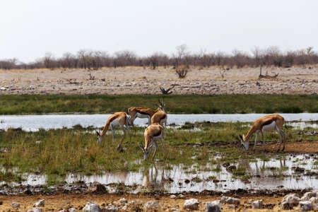 pozo de agua: manada de gacelas en el pozo de agua en el Parque Nacional de Etosha, Namibia