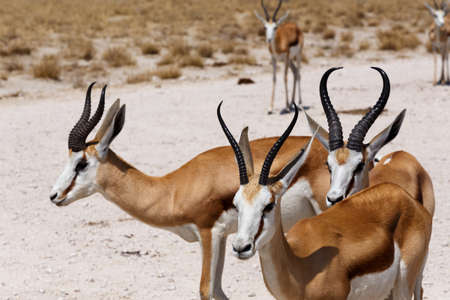 springbuck: herd of springbok in Etosha national park, Namibia