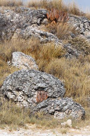 flowering aloe: flowering wild aloe (aloe asperifolia) in the Etosha, Namibia