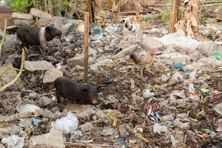 polution: muddy pig eating in a pile of garbage, Bali, Nusa penida, Indonesia Stock Photo