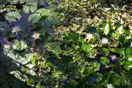 nusa: blooming white water lily, Nusa penida, Bali, Indonesia Stock Photo