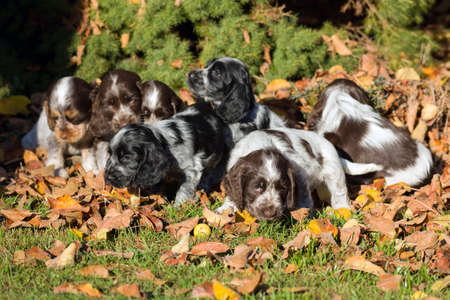 spaniel: English Cocker Spaniel puppy playing outdoor in autumn sunny day