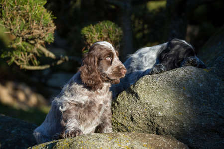 english cocker spaniel: English Cocker Spaniel puppy playing outdoor in autumn sunny day