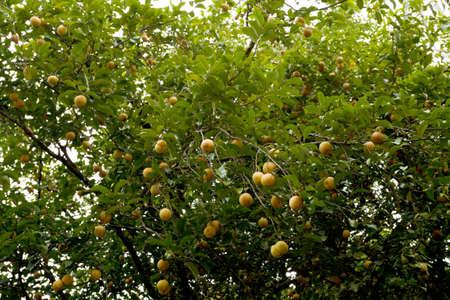 nutmeg: raw Nutmeg hanging on nutmeg tree, North Sulawesi, Indonesia Stock Photo