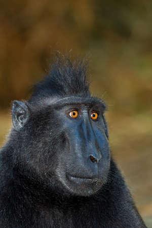 celebes: Celebes crested macaque as black monkey, Sulawesi, Indonesia Stock Photo
