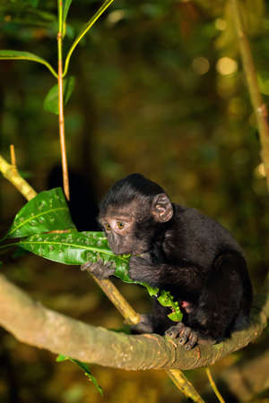 celebes: small baby of Celebes crested macaque as black monkey, Sulawesi, Indonesia