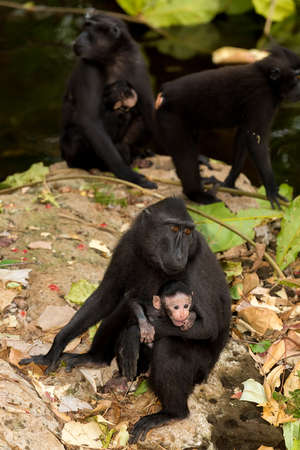 celebes: Celebes crested macaque as black monkey, mother with baby, Sulawesi, Indonesia Stock Photo