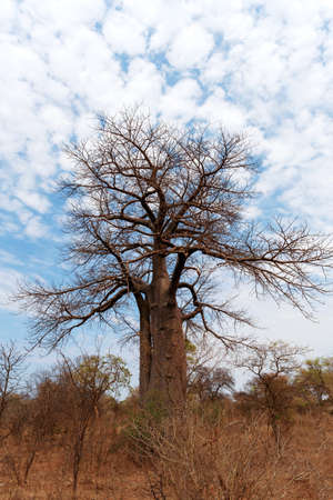 Lonely old baobab tree (Adansonia digitata)) - Namibia, South-West Africa against blue sky