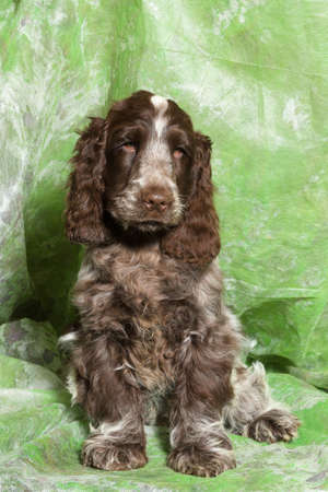 english cocker spaniel: brown English Cocker Spaniel puppy on green background