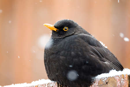 winter garden: male of Common blackbird (Turdus merula) on in winter garden