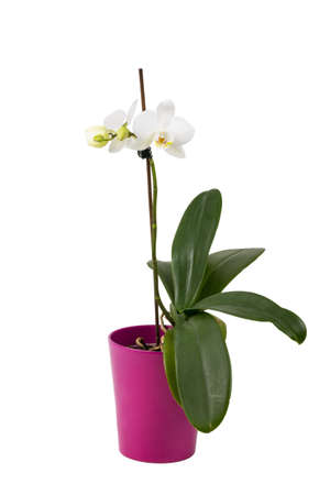 yellow orchid: romantic branch of white orchid isolated on white background, studio shoot Stock Photo