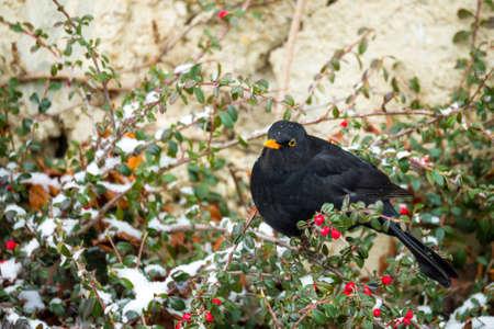 turdus: male of Common blackbird (Turdus merula) on Cotoneaster plant in winter garden, snowy day Stock Photo