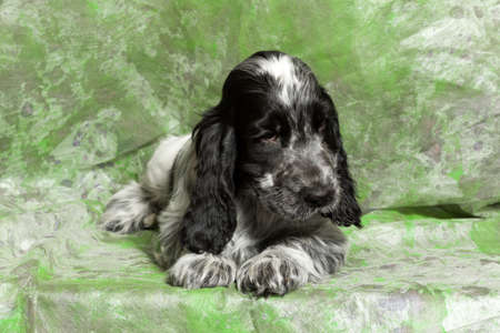 english cocker spaniel: blue (black and white) English Cocker Spaniel puppy on green background
