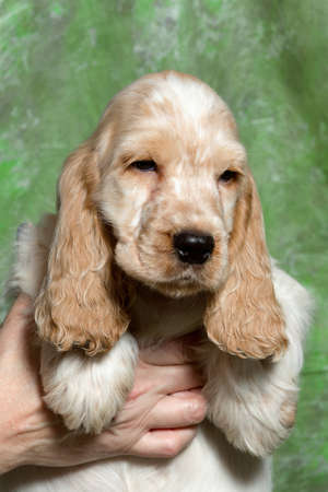english cocker spaniel: beige English Cocker Spaniel puppy on green background