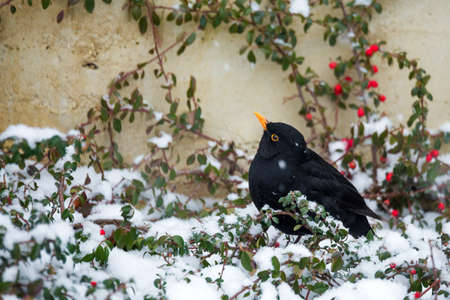 male of Common blackbird (Turdus merula) on berry of Cotoneaster plant in winter garden, snowy day,