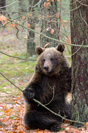 male killer: sitting big female of brown bear (Ursus arctos) in winter forest, Europe, Czech republic