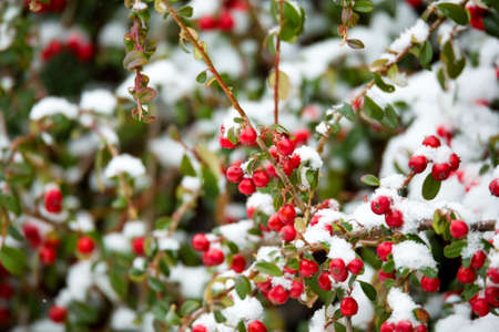 leathery: winter background with red gaultheria (berry of Cotoneaster plant) and snow