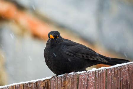 turdus: male of Common blackbird (Turdus merula) on in winter garden