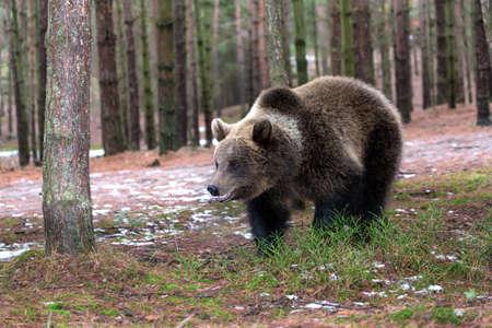 male killer: brown bear (Ursus arctos) in winter forest, Europe, Czech republic