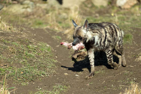 hienas: running Striped hyena (Hyaena hyaena) with flesh in mouth Foto de archivo