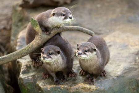 portrait of beautiful and playful river otter, wildlife Czech republic Banco de Imagens