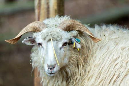 animales granja: cerca retrato de RAM o pisón, varón de ovejas en granja rural Foto de archivo