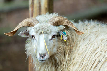 close up portrait of ram or rammer, male of sheep in rural farm