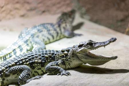 vivarium: Portrait of a small Crocodile showin his teeth in vivarium