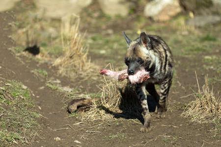 hienas: corriendo hiena rayada (Hyaena Hyaena) con carne en la boca