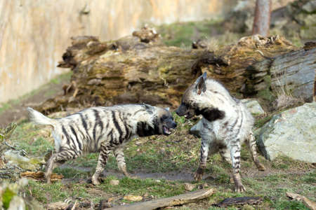 fighting two Striped hyena (Hyaena hyaena), showing their teeth
