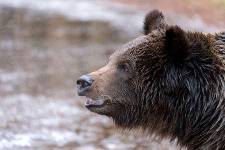 arctos: portrait of big male of brown bear (Ursus arctos) in winter forest, Europe, Czech republic