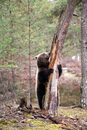 grizzly bear: big female of brown bear (Ursus arctos) in winter forest, start climb on the tree, Europe, Czech republic Stock Photo